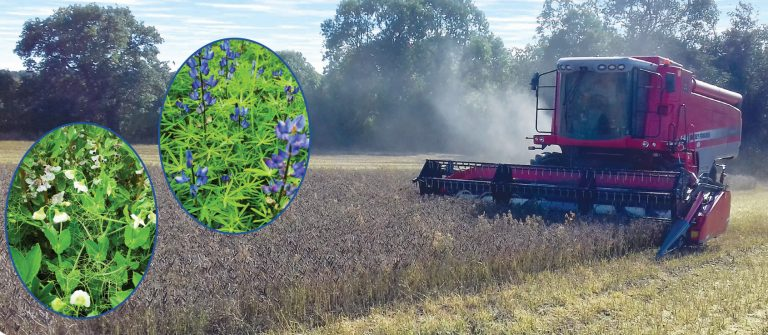 Rob Crowe harvesting lupins on 1 October 2019. Inset pictures: Pea and bean mix (left) and lupins in flower (right)