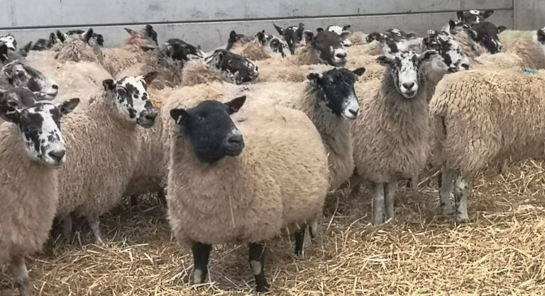 Some of Rob Crowes flock of on-lamb ewes