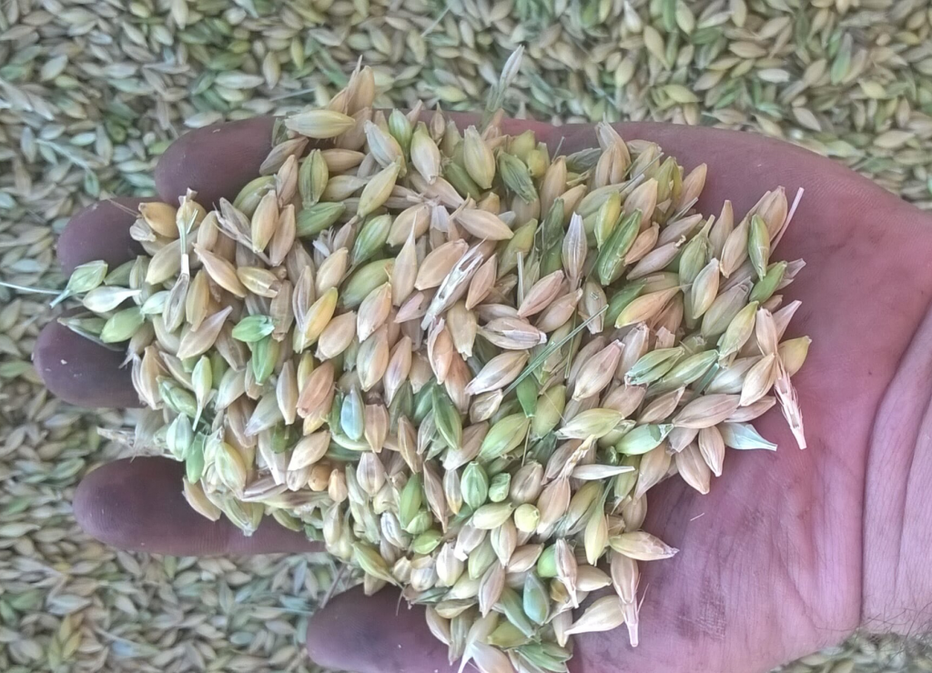 Uneven ripening of spring barley